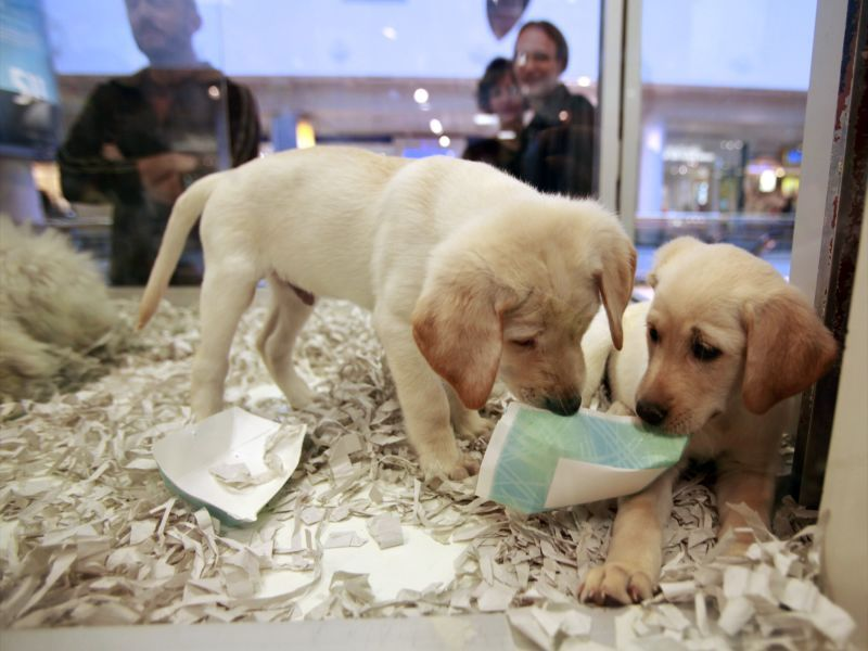 Uk Bans Pet Shops From Selling Puppies And Kittens Engoo Daily News Labrador Puppy Labrador Puppies For Sale Kittens