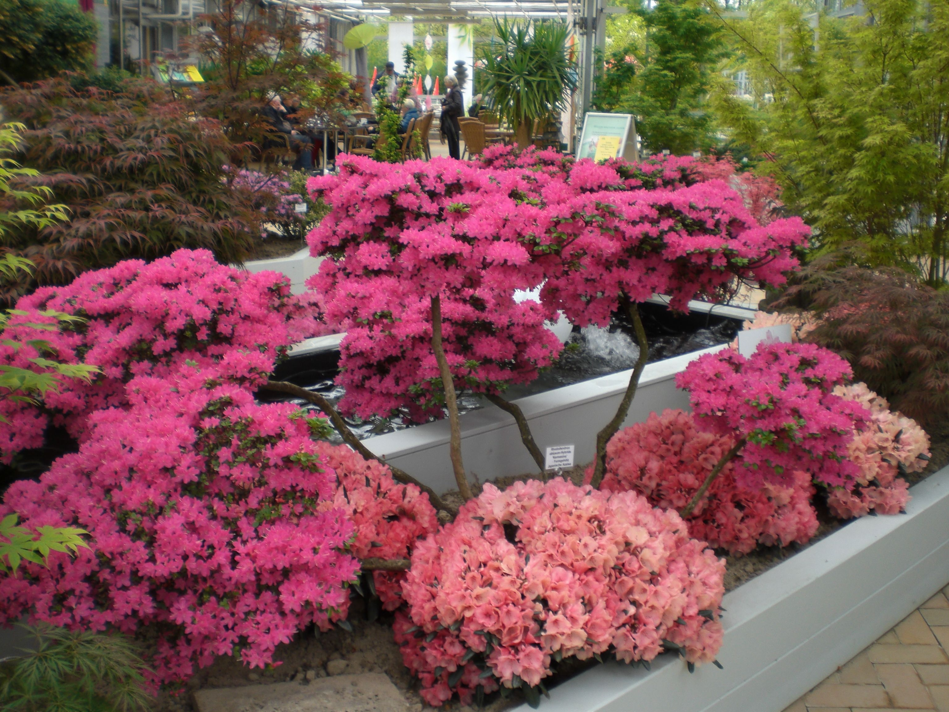 Japanische Azalee Bonsai Form Azaleen Japanischer Garten Garten
