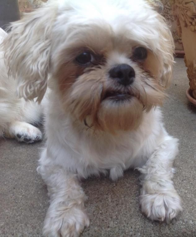 Adopt Ruthie On Dogs Shih Tzu Pets