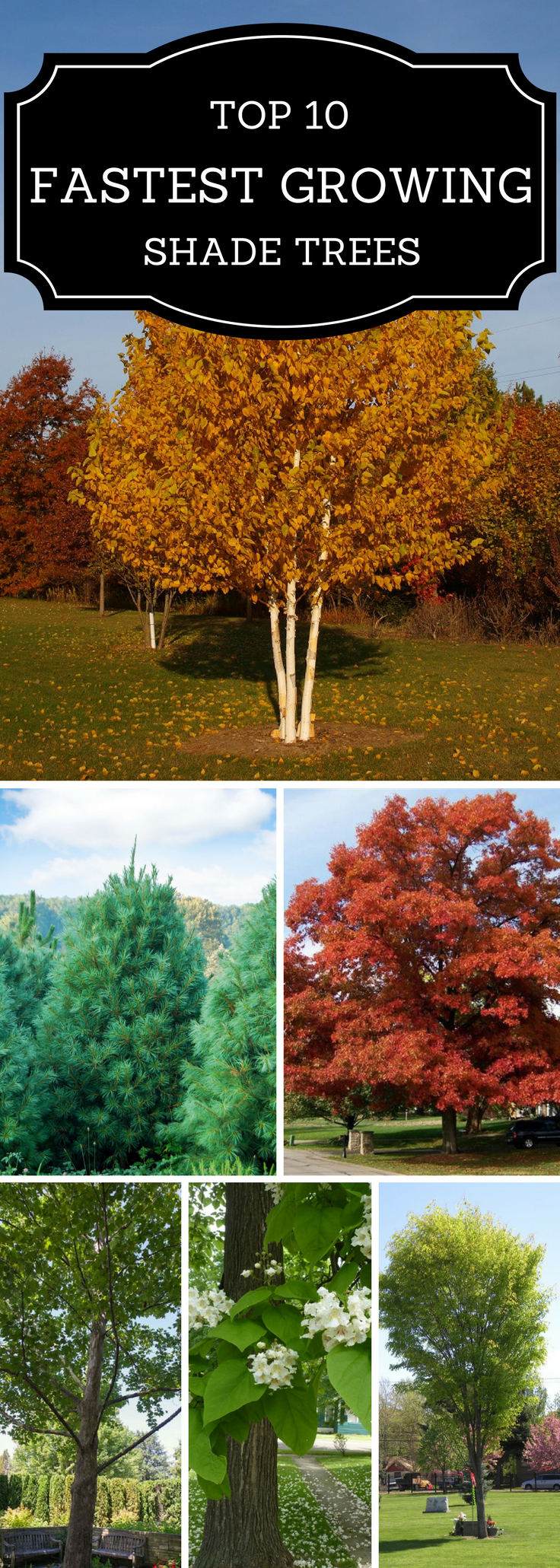 TOP 10 Fastest Growing Shade Trees | Fast growing shade ...