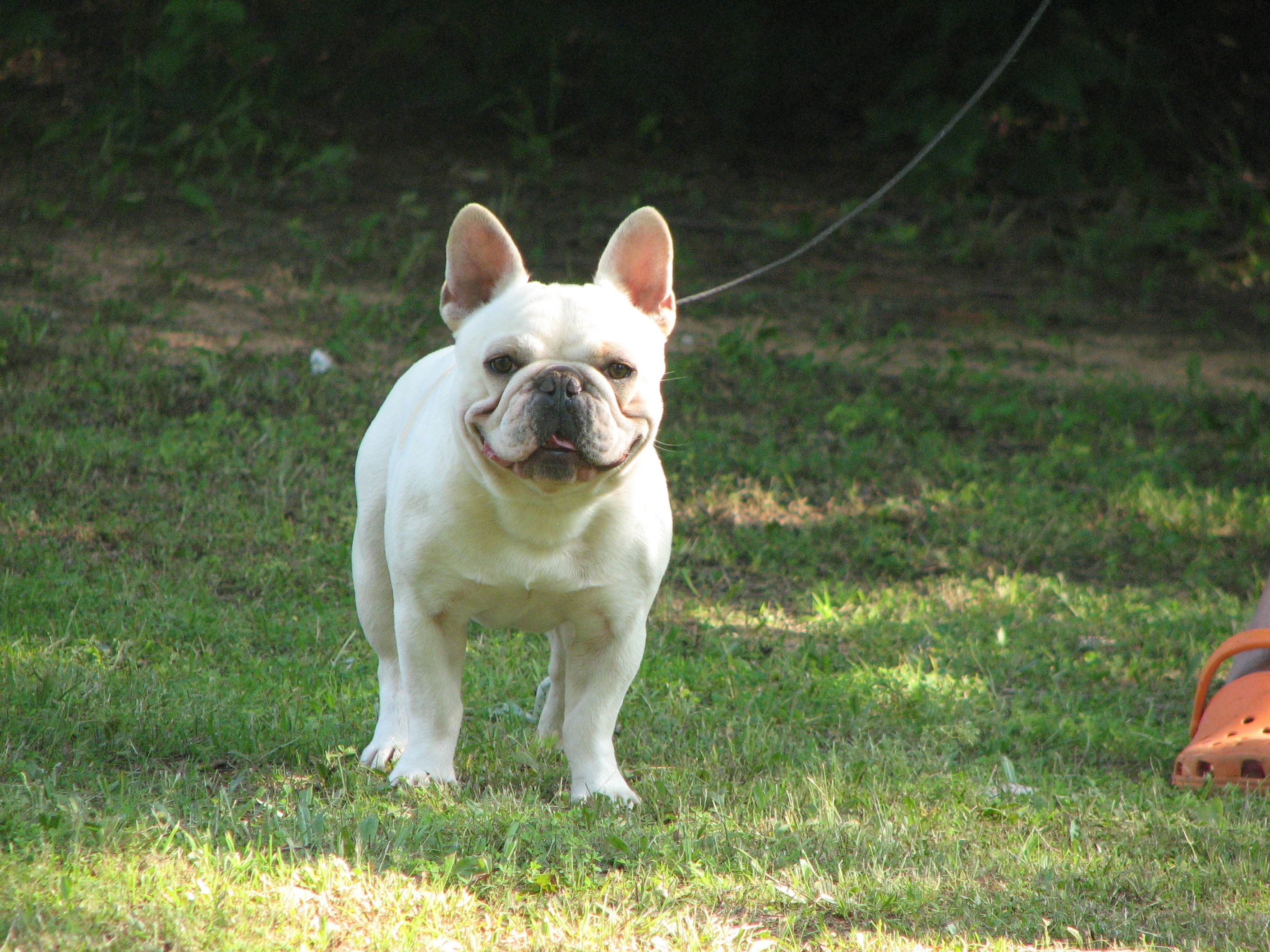 Pedigrees Stud Dogs Stud Dog French Bulldog Bulldog