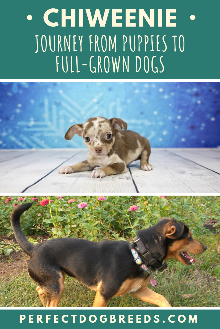 Journey From Chiweenie Puppies To Full Grown Chiweenie Dogs Chiweenie Dogs Chiweenie Puppies Chiweenie