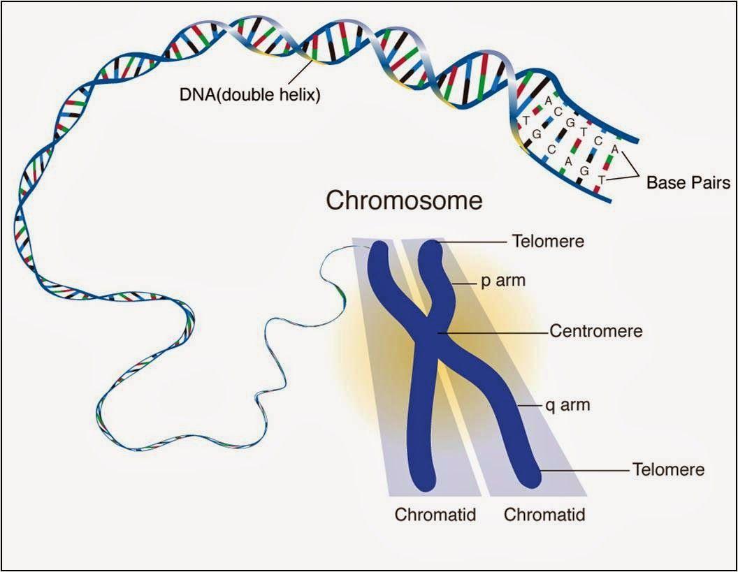 Genes And Chromosomes Bbc Bitesize