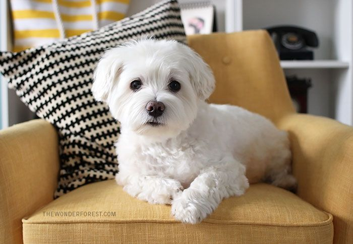 How To Groom Your Dog At Home Wonder Forest Design Your Life Dog Grooming Tips Dog Grooming Maltese Dogs