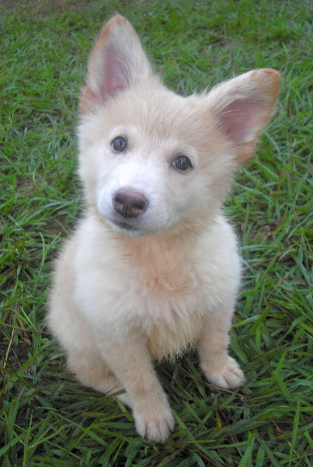 White German Shepherd Puppies Chloe The White Fluffy Shepherd