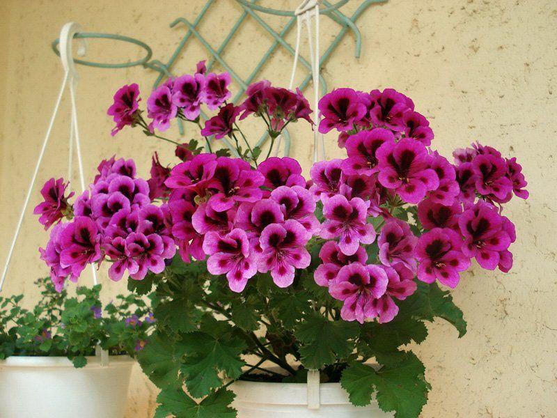 чем поливать домашние цветы чтобы хорошо росли бабушек рецепты