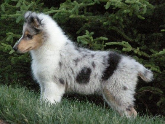 Blue Merle Collie Puppy Male 12 Weeks Rough Collie Collie