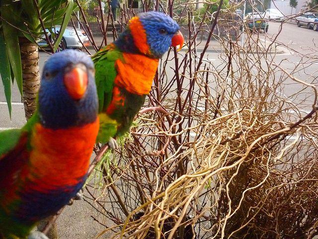 glebe's parrots | Flickr - Photo Sharing!