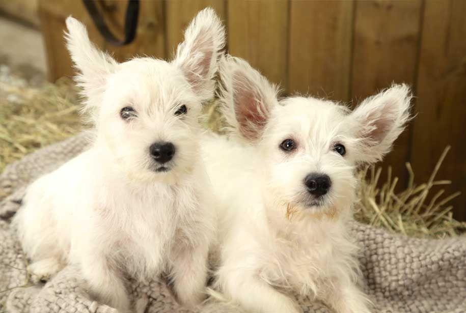 West Highland Terrier Puppies Westie Puppies Westie Puppies For