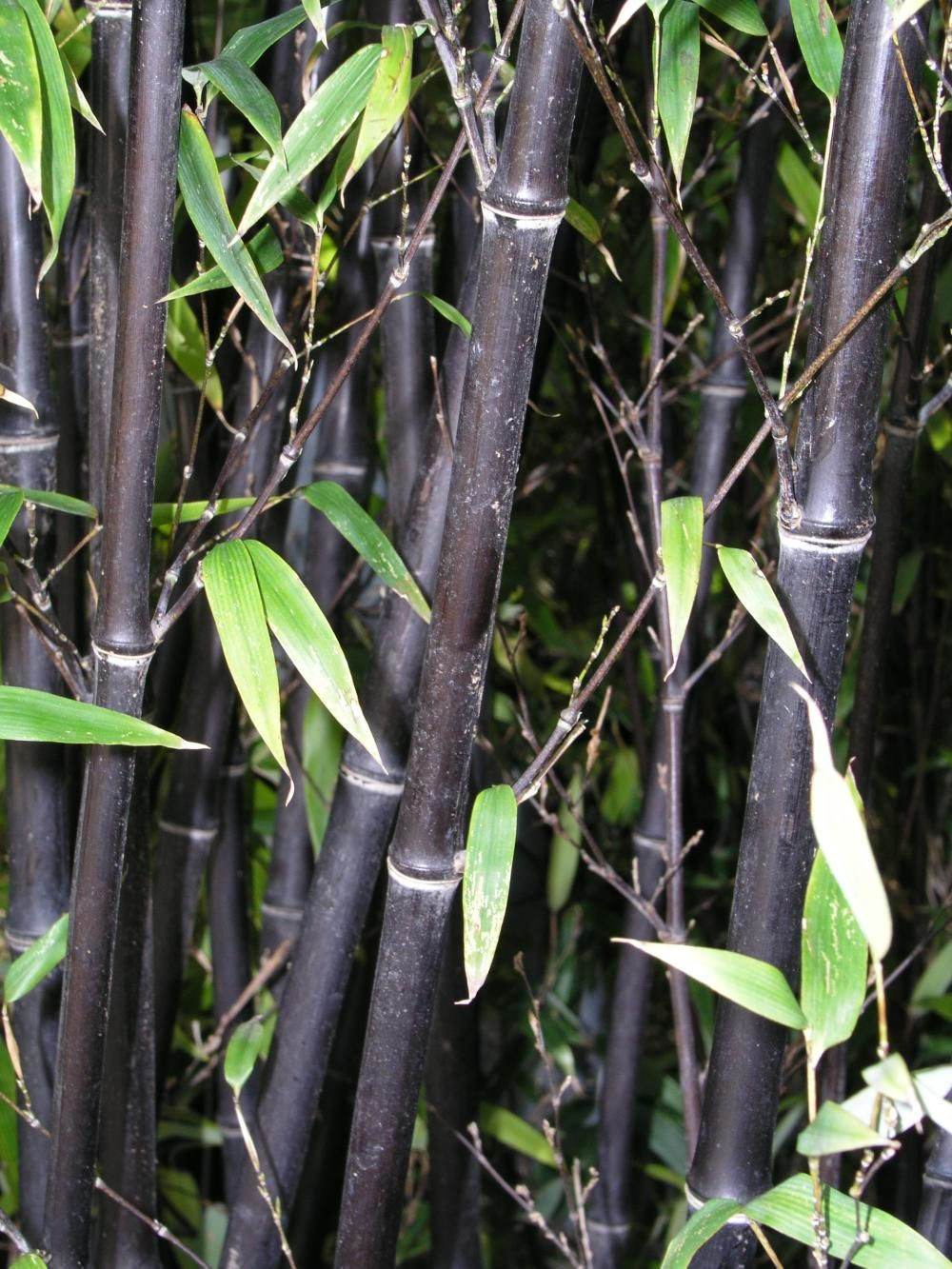 Bambus Schwarzer Bambus Bambus Und Bambus Im Kubel