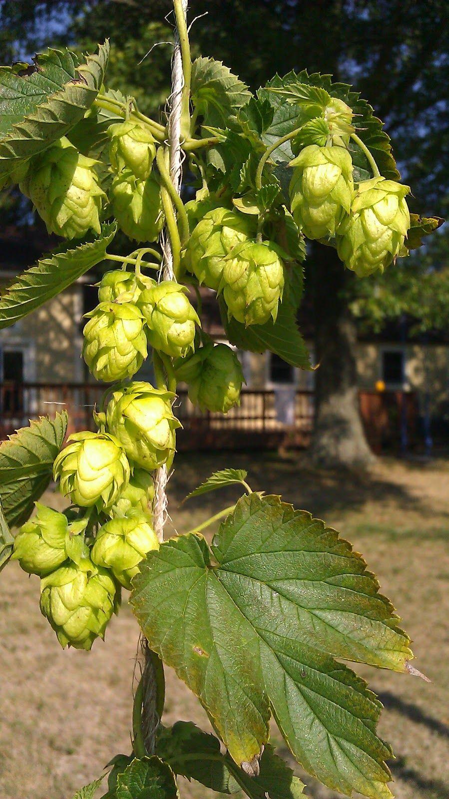 Hops Benefits And Side Effects Hops Plant Herbal Medicine Medicinal Plants