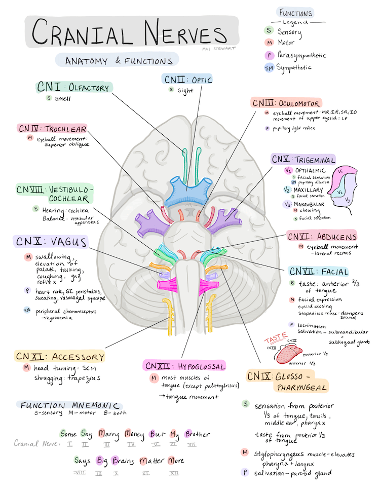 Freshen Up On Your Cranial Nerve Knowledge With This Review Doodle Knowing The Anatomy An In 2020 Nursing School Notes Medical School Studying Nursing School Studying