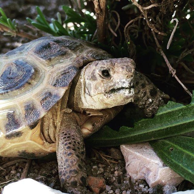 Frühstück bei den #Schildkröten Die Zwerghlockenblume haben sie komplett aufgefressen. #schildkröte #turtles #animal