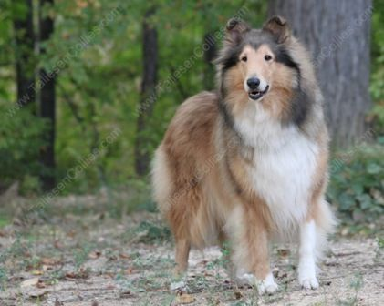 Kyra Lyncryst Brightmore Debutanter Sable And White Rough Collie Puppies Rough Collie Collie