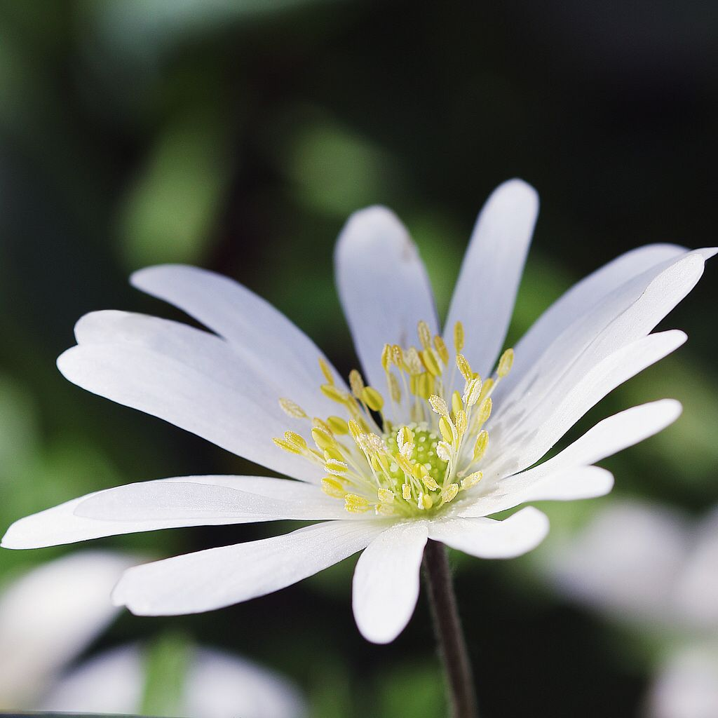 White Anemone West Green Gardens Florals Pinterest