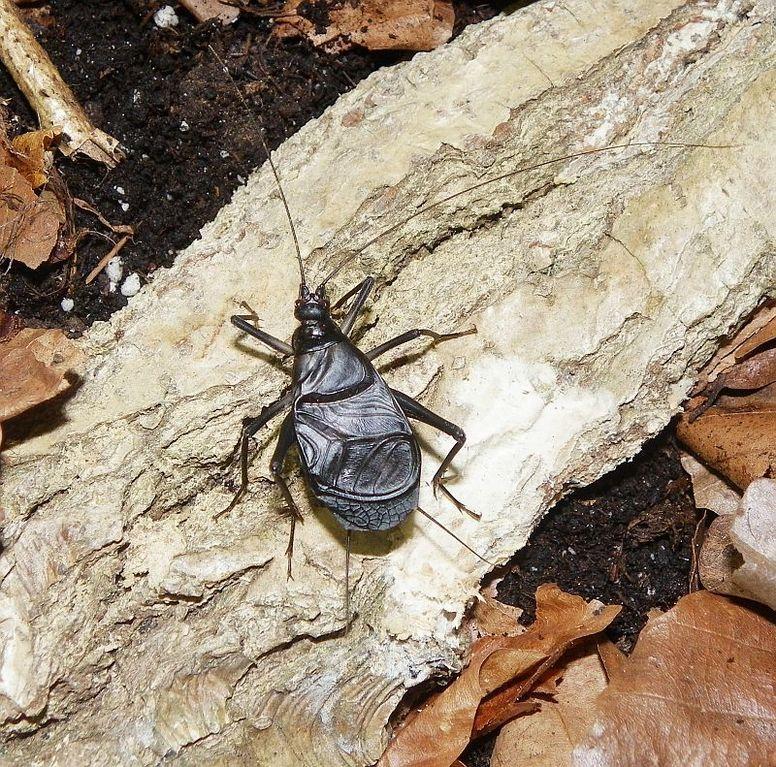 """Homoeogryllus xanthographus (ex.""""indicus"""") - saltatoria.info - Haltung und Zucht von Heuschrecken, Blattschrecken und Grillen"""