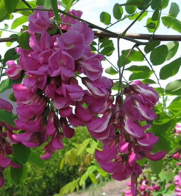 Robinia Pseudoacacia Purple Robe Black Locust Landscape Garden