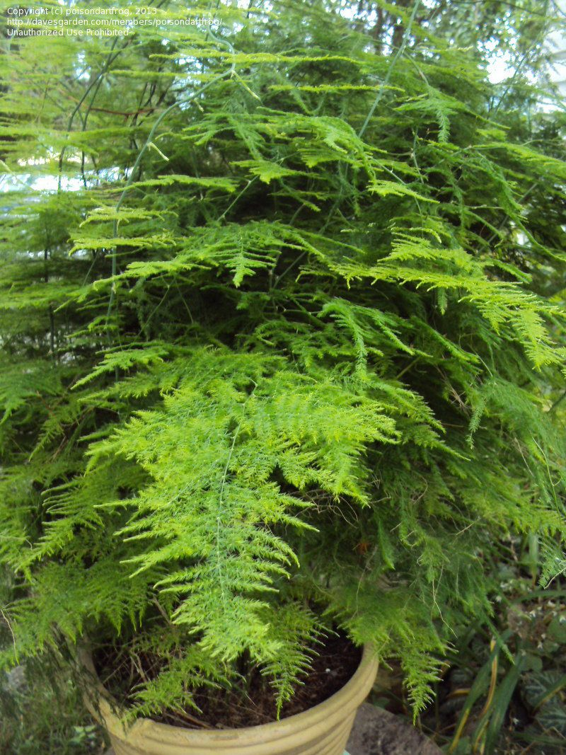 In Container Outside For Summer Vacation Asparagus Fern Plumosa Fern Asparagus Setaceus Asparagus Fern Plants Ferns Garden
