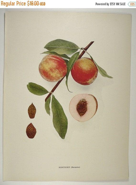 1917 kentucky nectarine vintage fruit print antique peach print color botanical print garden art gift kitchen wall art gift for new home