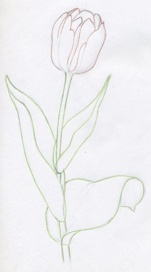 Draw Tulip Flowers In Few Easy Steps Tulips Art Watercolor Tulips Flower Drawing