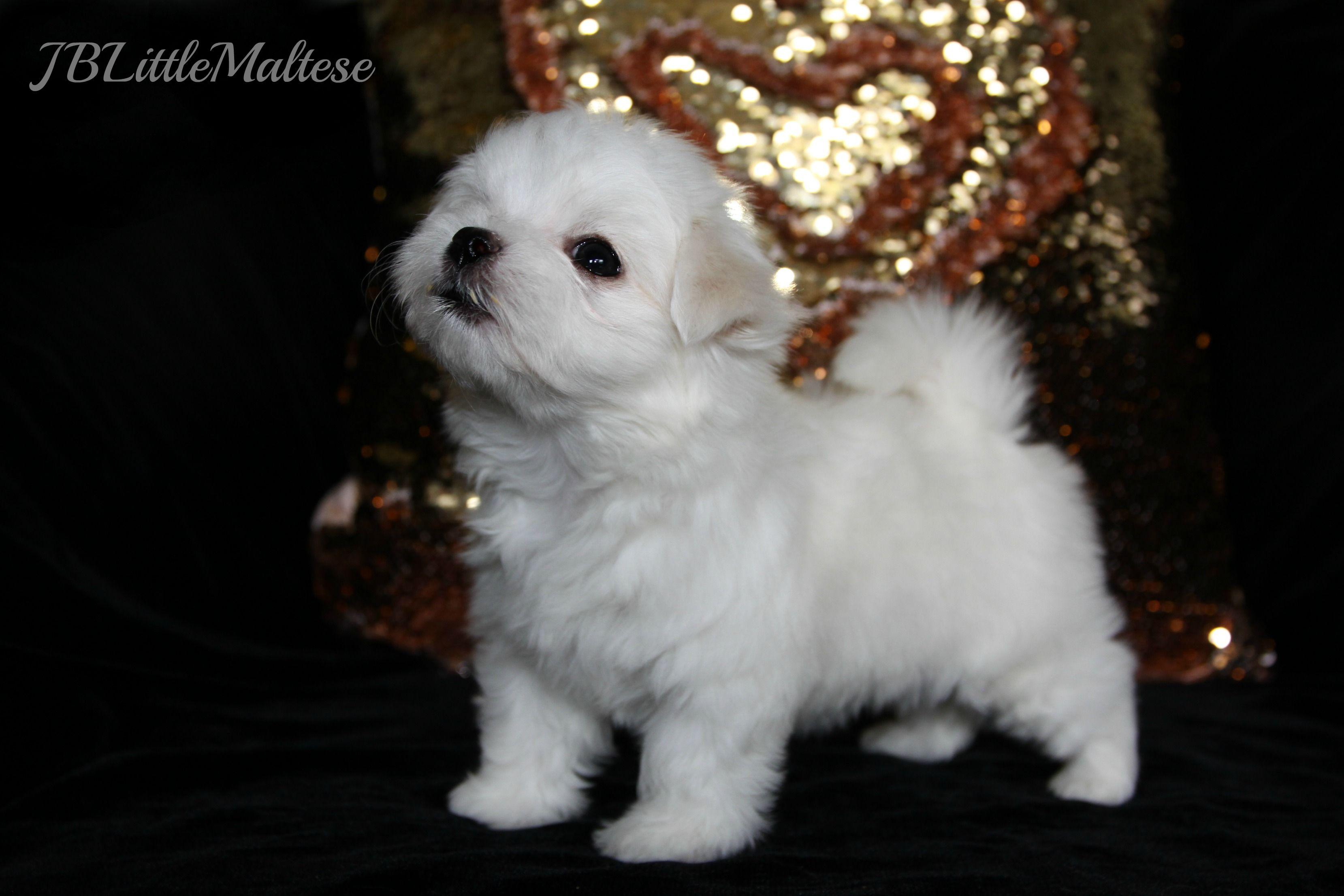 Maltese Puppy Of Jblittlemaltese Reg D Purebred Canadian