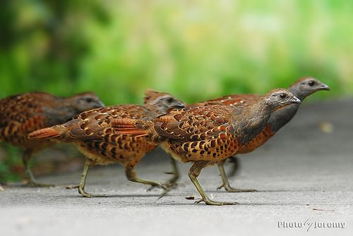 Bamboo Partridges