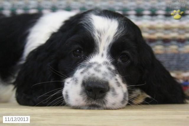 Cocker Spaniel Puppy For Sale Red Alert This Is Obviously A