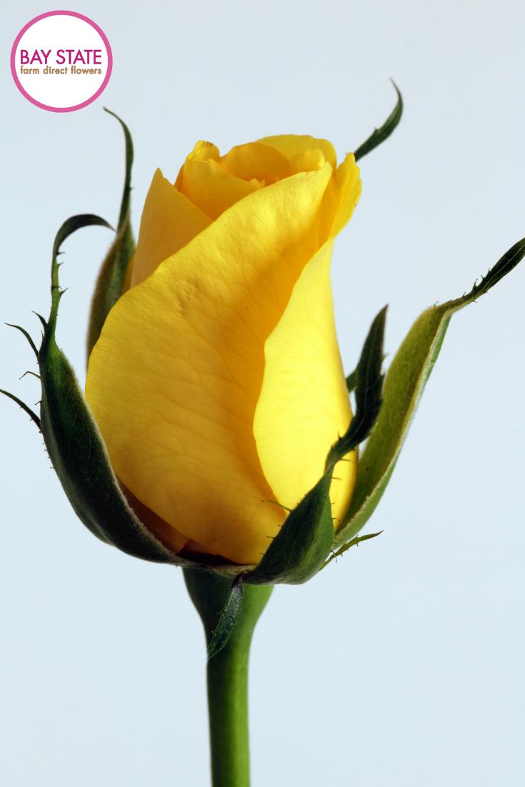 Yellow Roses Valentine S Day Rosas Amarillas Rosas Flores