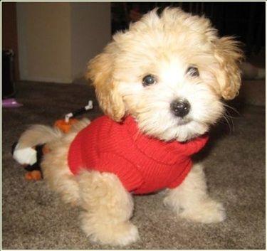 Poo Ton Coton De Tulear Poodle Hybrid Poo Tons Coton De Tulear