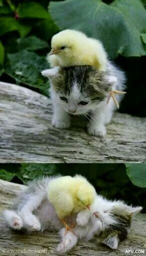 Chick and kitten
