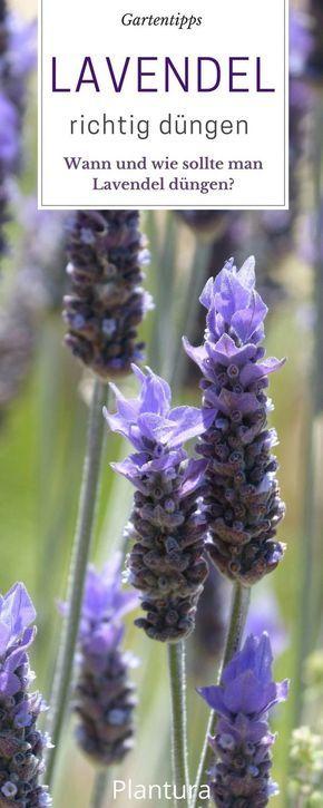 Lavendel schneiden wann und wie zur ckschneiden garten - Lavendel zimmerpflanze ...