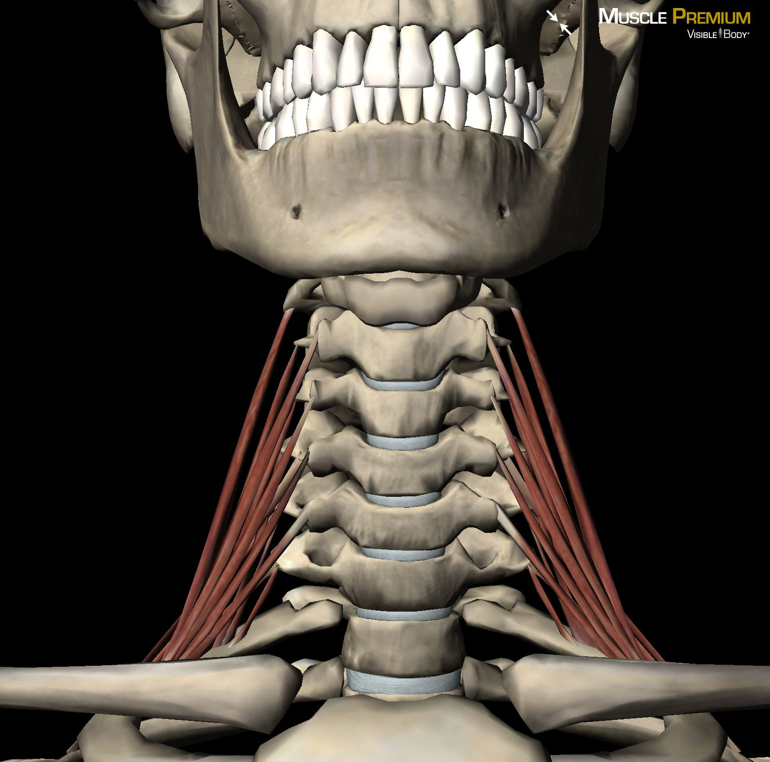 learn muscle anatomy: scalene muscles | massage therapy, Skeleton