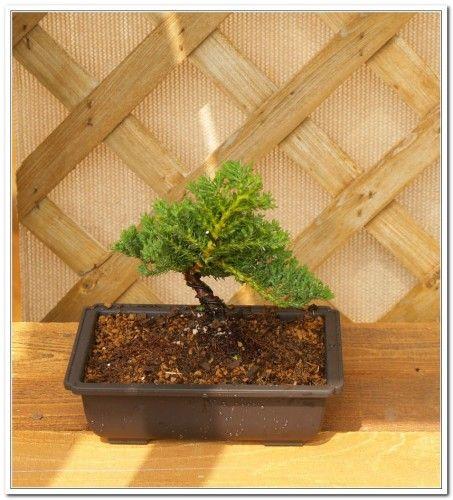 Styling The Juniper Procumbens A Six Part Series Of Before And After Styling For Beginners Juniper 1 Dallas Bonsai Blog Bonsai Jade Bonsai Bonsai Tree