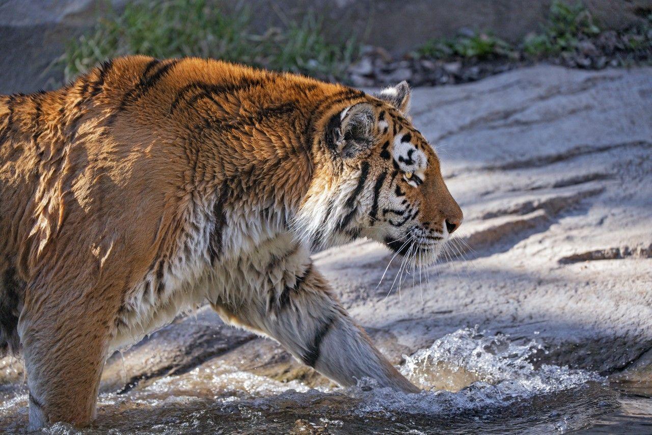 Pin on Tiger Tiger Burning Bright
