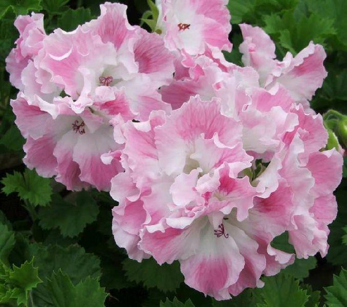 Types Of Geraniums: Geranium Pelargoniums Regal Delli'