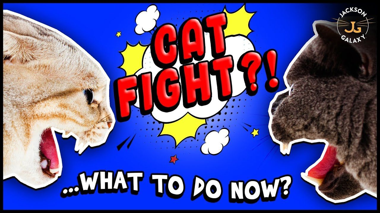 How To Deal With Cat Fights Catfight Cats Jackson Galaxy