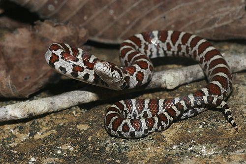 Eastern Milksnake juvenile | Milk snake, Animals, Snake