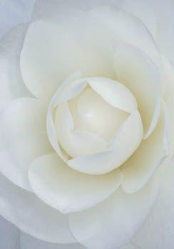 Camellia Japonica Compacta Alba by Clive Nichols _