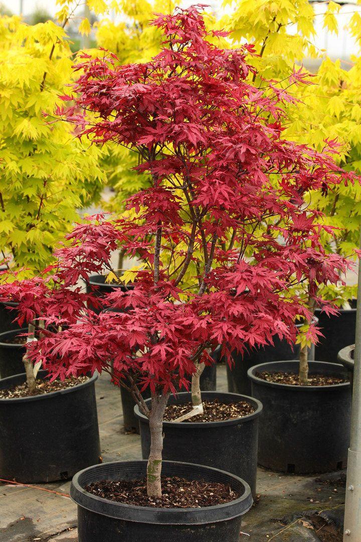 Acer palmatum 'Amagi shigure' _ Japanese Maple #japanesemaple