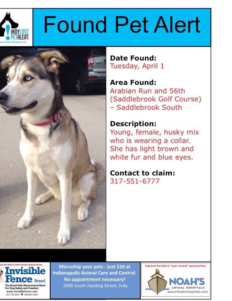 Founddog 4 1 14 Indianapolis In Siberianhusky Mix Female With Collar Blue Eyes Light Brown White Saddlebrook Losing A Dog Female Siberian Husky Find Pets