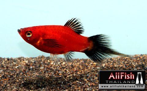 Pin On Love Platy Fish