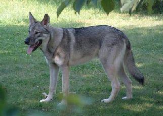 Shawlein Fine Art Purebred German Shepherd Dogs German Shepherd German Shepherd Wolf Mix Sable German Shepherd