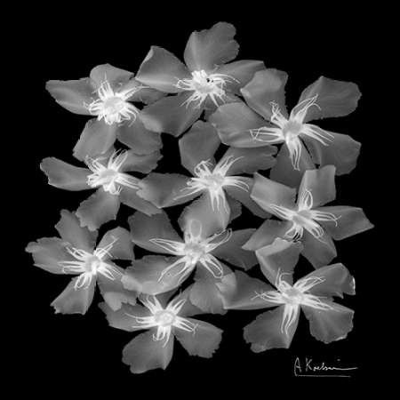 Oleander X-Ray