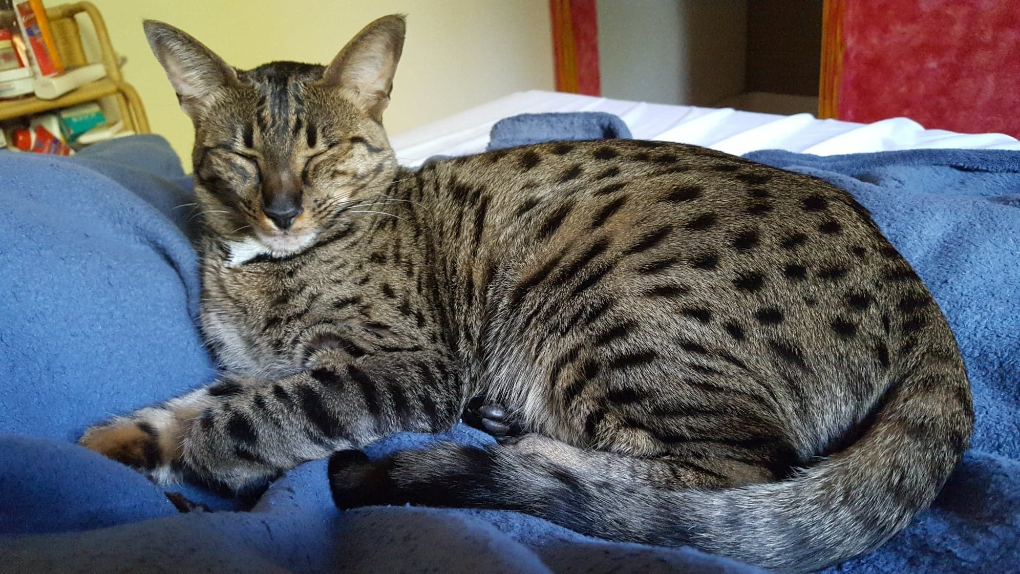 Nalaa Our F7 Sbt Savannah Cat Spending Time In The Morning