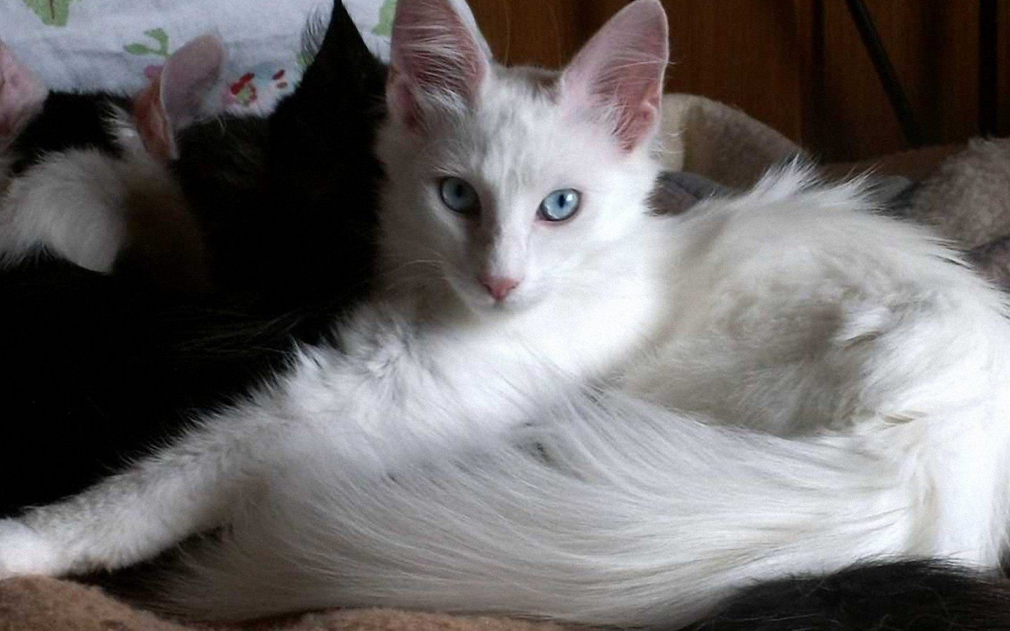 White Siamese Kitten Picture This Is What My Angel Looks Like As