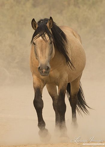 f5381c4fd1 Bugs a gorgeous buckskin wild stallion living in the Sand Wash Herd area of  Colorado by Living Images
