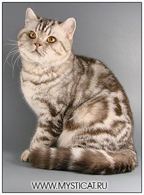 British Shorthair Cat Chocolate Silver Classic Tabby British Shorthair Cats American Shorthair Cat British Shorthair