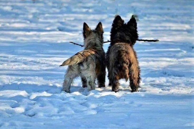Led Pet Collar Blue L Cairn Terrier Terrier Norwich Terrier