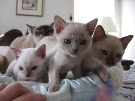 Tonkinese Kittens Tonkinese Cat Kittens Tonkinese Kittens