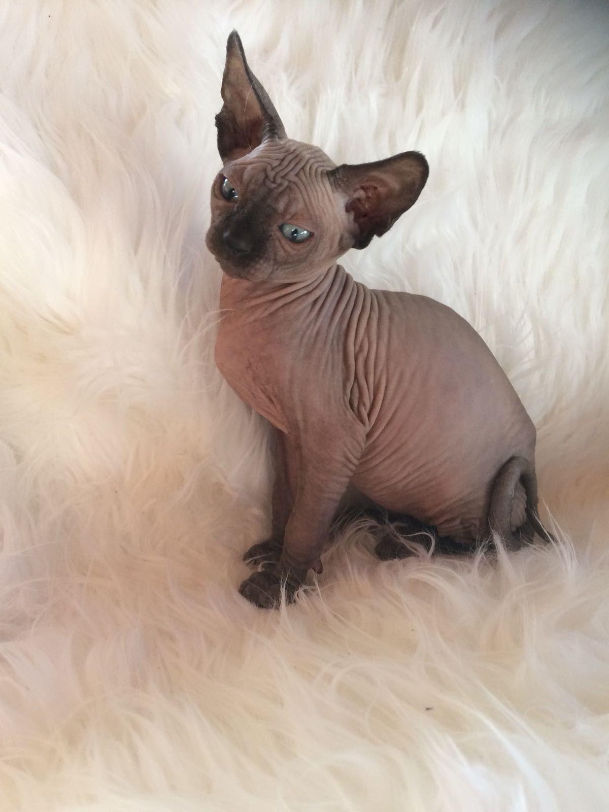 My Beautiful Seal Mink Jack Sphynx Cat Sphynx Feline